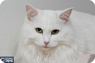 Domestic Longhair Cat for adoption in Salem, Ohio - Ebony