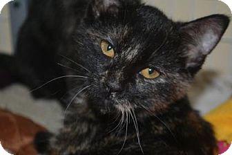 Domestic Shorthair Kitten for adoption in Edwardsville, Illinois - Checkers