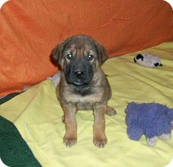 German Shepherd Dog/Labrador Retriever Mix Puppy for adoption in Liberty Center, Ohio - Megan