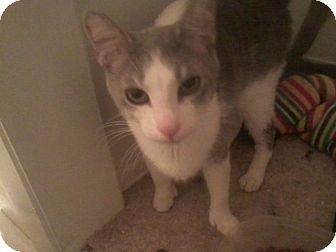 Domestic Shorthair Cat for adoption in Cincinnati, Ohio - Bowser