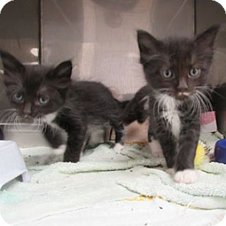 Domestic Longhair Kitten for adoption in Athens, Georgia - Gill
