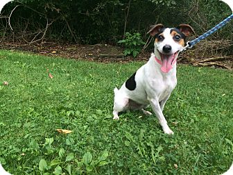 Jack Russell Terrier Mix Dog for adoption in New Castle, Pennsylvania - Lilly