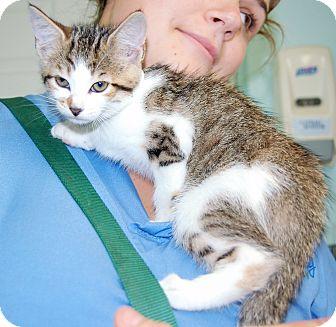 Domestic Shorthair Kitten for adoption in Bradenton, Florida - Wanda
