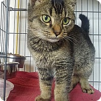 Adopt A Pet :: Lenox ticked fur tabby - McDonough, GA