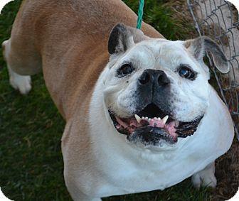 English Bulldog Mix Dog for adoption in Fruit Heights, Utah - Diesel