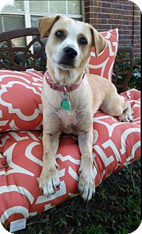 Australian Cattle Dog/Affenpinscher Mix Dog for adoption in Cat Spring, Texas - Hope