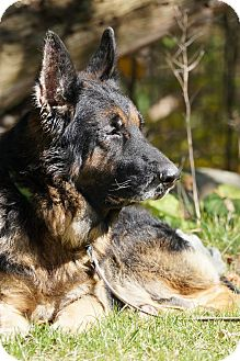 German Shepherd Dog Dog for adoption in Wayland, Massachusetts - Kaiser