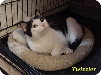 Domestic Shorthair Cat for adoption in Chisholm, Minnesota - Twizzler