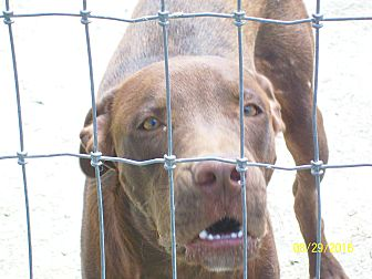 Labrador Retriever/Retriever (Unknown Type) Mix Dog for adoption in Mexia, Texas - Bentley