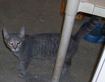 Domestic Shorthair Kitten for adoption in Morriston, Florida - TABITHA