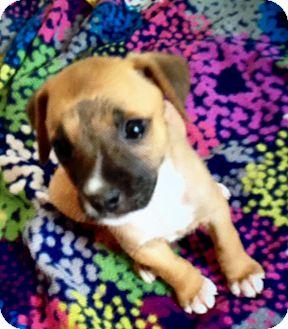 Labrador Retriever Mix Puppy for adoption in East Windsor, Connecticut - Cassy-ADOPTION PENDING
