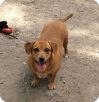 Dachshund Mix Dog for adoption in Brownsville, Texas - Daisy