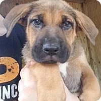 Adopt A Pet :: Cera - Gainesville, FL