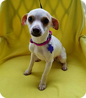 Chihuahua Mix Dog for adoption in Danbury, Connecticut - Song