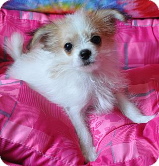 Chihuahua Mix Puppy for adoption in Harrisonburg, Virginia - Kaboodle