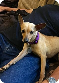 Italian Greyhound/Chihuahua Mix Dog for adoption in Alpharetta, Georgia - Elektra