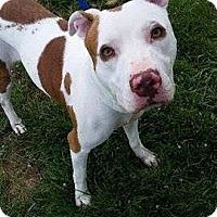 Adopt A Pet :: Annabelle - Durham, NC