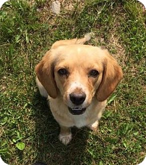 Cocker Spaniel/Beagle Mix Puppy for adoption in Chicago, Illinois - Tiny*ADOPTED!*