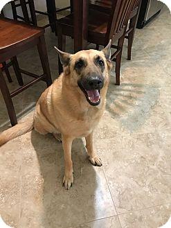 Belgian Malinois Mix Dog for adoption in Phoenix, Arizona - Ren