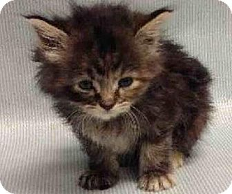 Maine Coon Kitten for adoption in NYC, New York - Tulip and Charlie girls