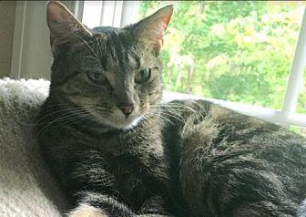Domestic Shorthair Kitten for adoption in Raleigh, North Carolina - Kiara I