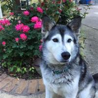 Adopt A Pet :: Duchess - Clay, AL