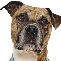 American Staffordshire Terrier Dog for adoption in Richmond, Virginia - Sampson in Gloucester VA