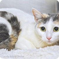 Domestic Shorthair Cat for adoption in Dublin, California - Gwen
