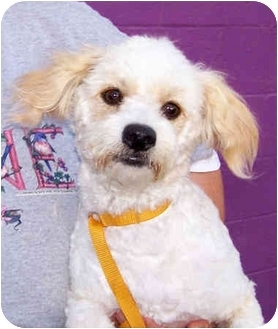 Poodle (Miniature)/Maltese Mix Dog for adoption in El Segundo, California - Mopsey