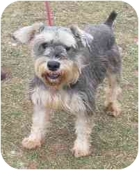 Schnauzer (Standard) Mix Dog for adoption in Honesdale, Pennsylvania - Bruster