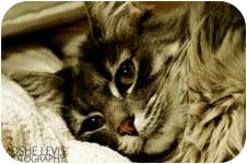 Maine Coon Cat for adoption in Los Angeles, California - Lily
