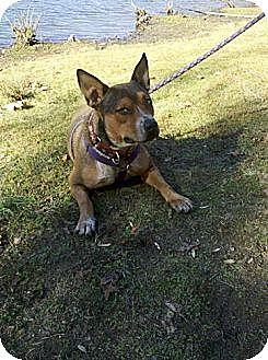 Australian Cattle Dog Mix Dog for adoption in Rock Hill, South Carolina - Gracie