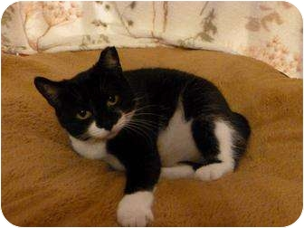 Manx Cat for adoption in Fredericton, New Brunswick - Sophie