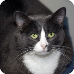 Domestic Shorthair Cat for adoption in Milwaukee, Wisconsin - Smokie