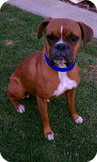 Boxer Dog for adoption in Orland Park, Illinois - Roxy
