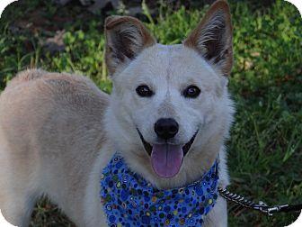 Spitz (Unknown Type, Small)/Sheltie, Shetland Sheepdog Mix Dog for adoption in Peachtree City, Georgia - Willow