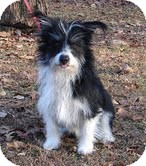 Papillon/Yorkie, Yorkshire Terrier Mix Dog for adoption in Portland, Maine - Scooter