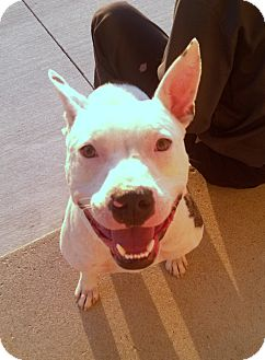 American Staffordshire Terrier Mix Dog for adoption in Troy, Michigan - Brandon