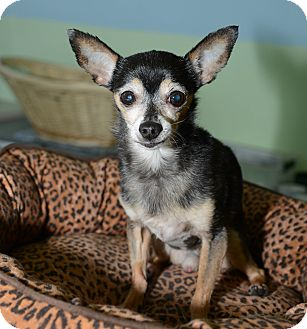 Chihuahua Dog for adoption in New York, New York - Louis