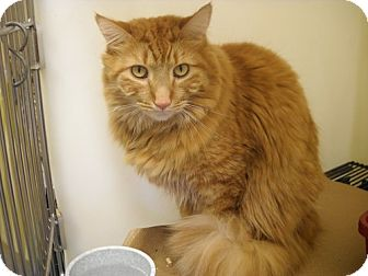 Maine Coon Cat for adoption in Trenton, New Jersey - Miles J #28