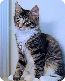 Domestic Mediumhair Kitten for adoption in Victor, New York - Charlie