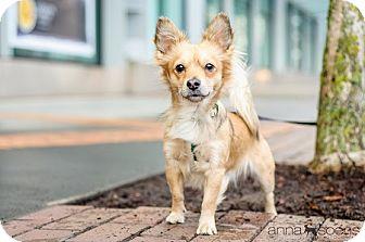 Pomeranian Mix Dog for adoption in Portland, Oregon - PALOMINO