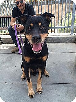 Rottweiler Dog for adoption in Burbank, California - Jackson- handsome Rottie