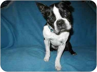 Boston Terrier Dog for adoption in Temecula, California - Hector