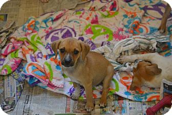 Beagle/Jack Russell Terrier Mix Puppy for adoption in Broadway, New Jersey - Wally