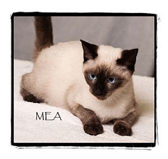 Siamese Kitten for adoption in Warren, Pennsylvania - Mea