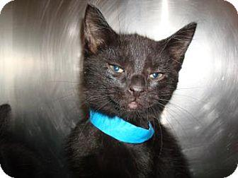 Domestic Shorthair Cat for adoption in Miami, Florida - Dash