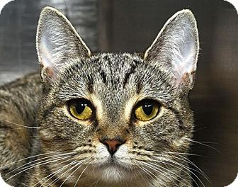 Domestic Shorthair Cat for adoption in New Haven, Connecticut - BUTTERCUP