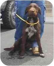 German Wirehaired Pointer Mix Dog for adoption in Provo, Utah - FARMER