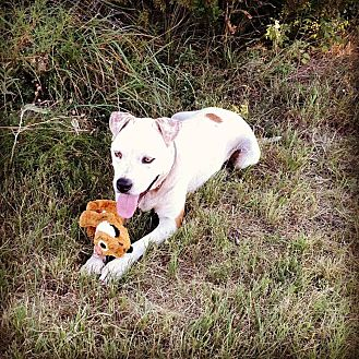 American Pit Bull Terrier/Labrador Retriever Mix Dog for adoption in Georgetown, Texas - Cinnamon